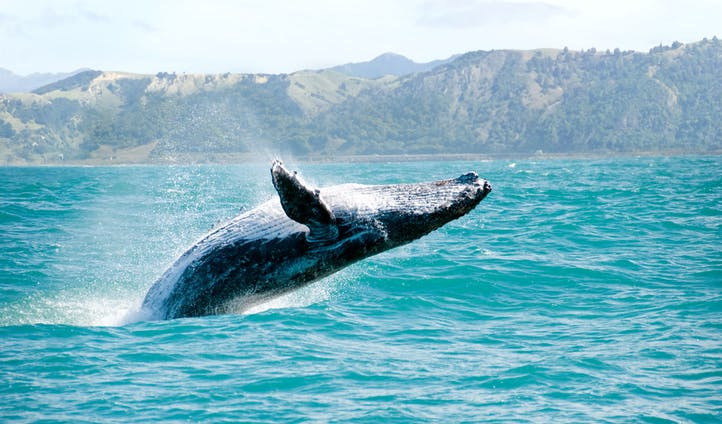 A humpback breaches in the waters of New Zealand