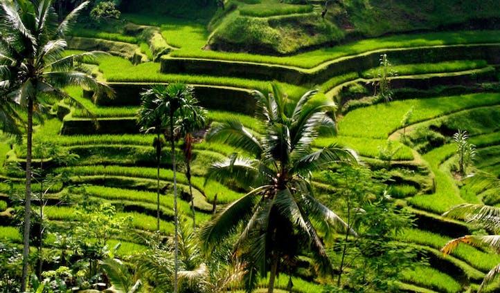 Ubud rice fields, Bali, Indonesia