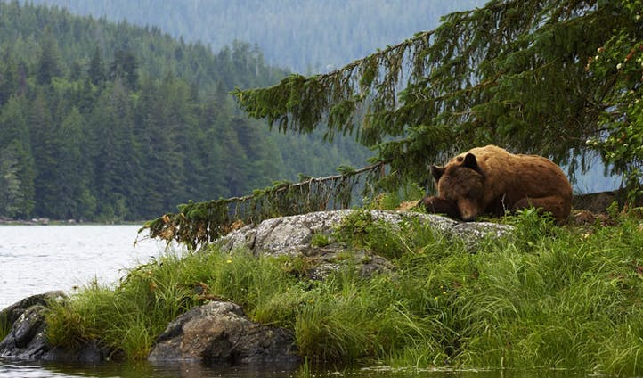 Catch a glimpse of the grizzly bears