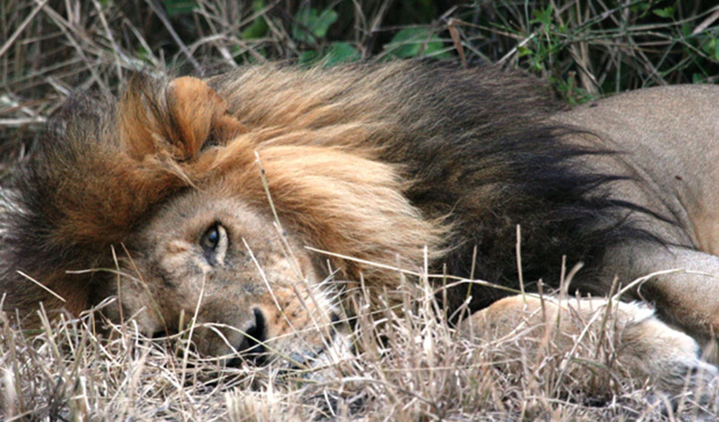 Sleeping-Lion