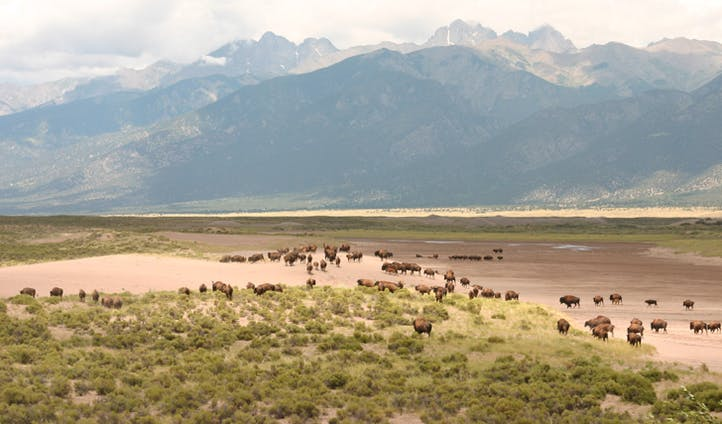 Bison and mountains in Colorado