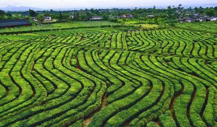 Take a walk through the tea planatations