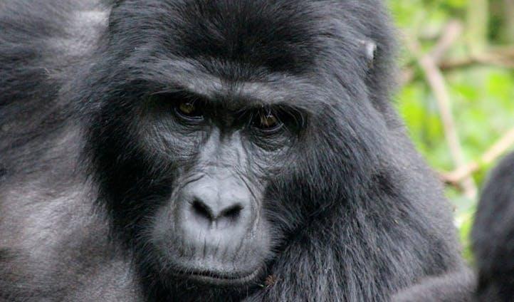 Gorillas in Virunga
