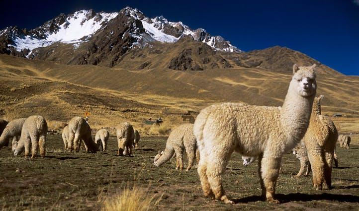 Alpacas, Puno, Peru
