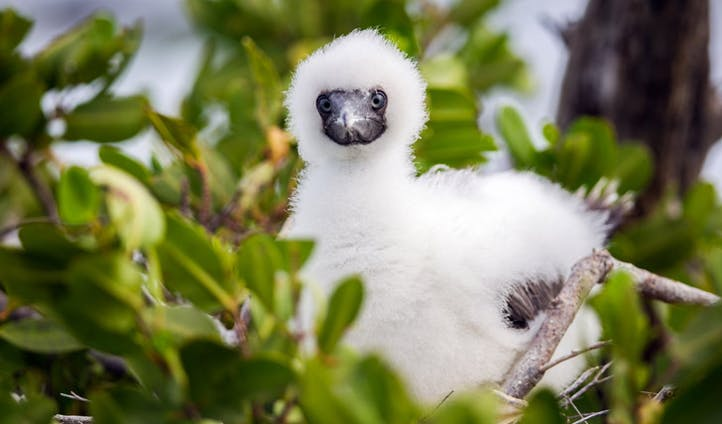 Red footed Booby Chick