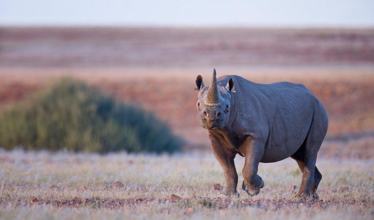 Desert Rhino