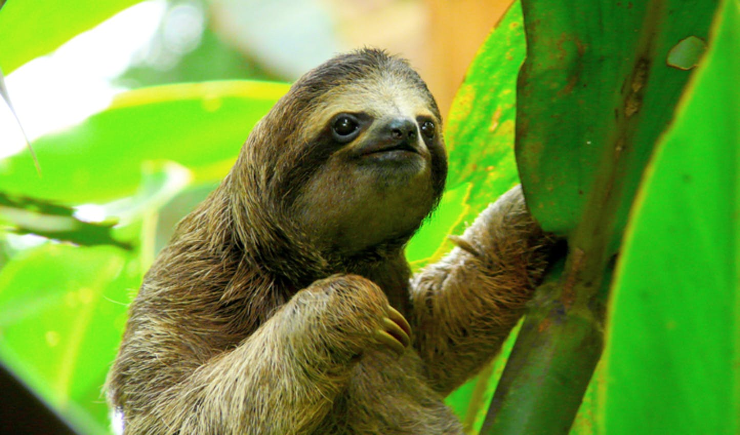A sloth in Colombia's jungle