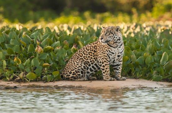 Jaguar in Brazil's Pantanal