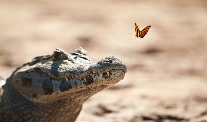 Caiman crocodile in the Pantanal