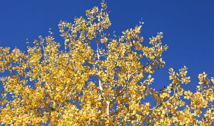 Yellow leaves on Aspen tree
