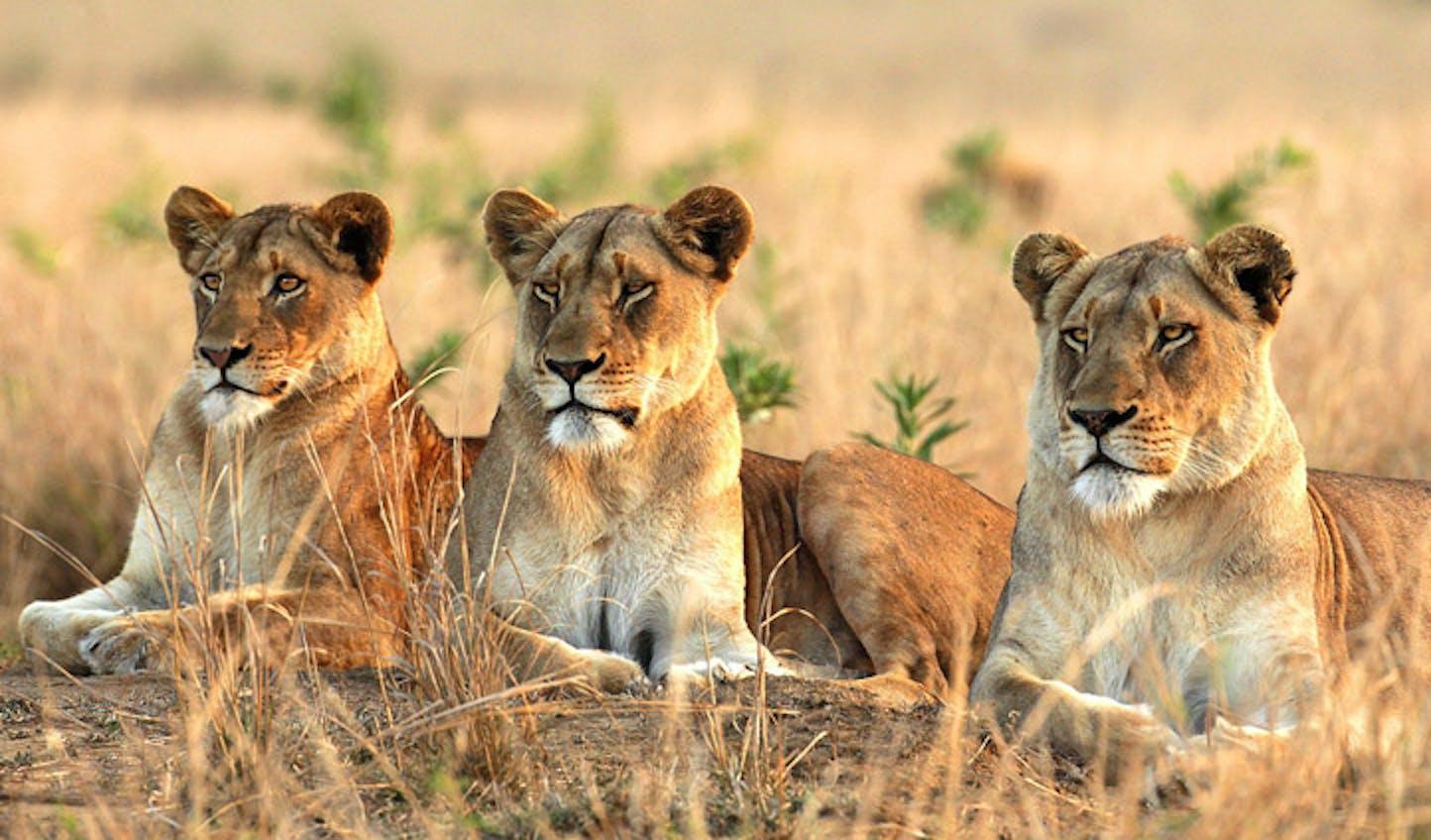 lions at sabi sand