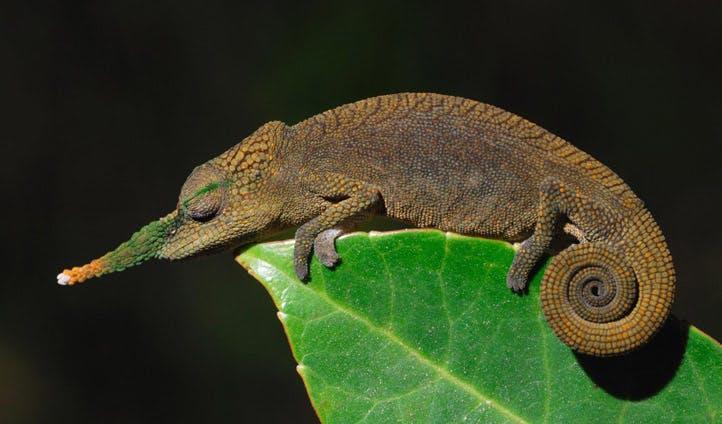 long nosed chameleon