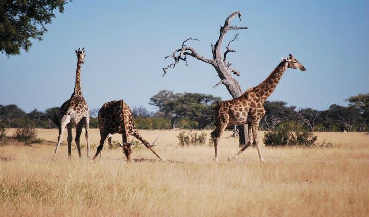 Giraffes at Somalisa | Black Tomato