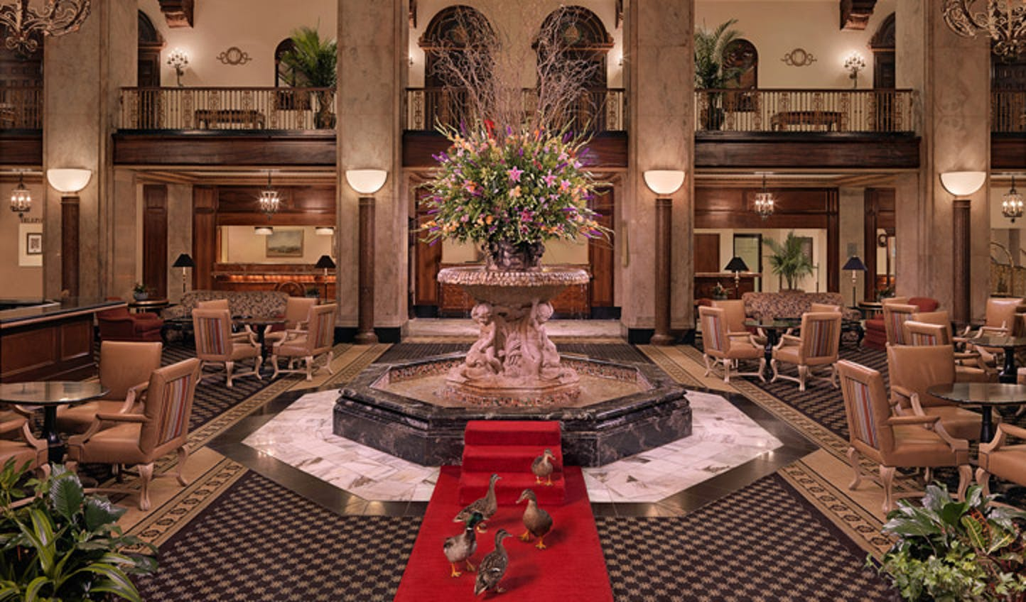 The Peabody Hotel's resident ducks walk to the fountain