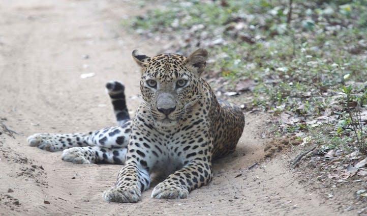 Leopard Trails