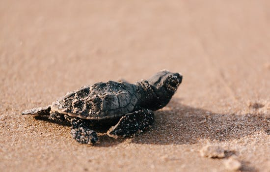 Turtle watching in Antigua