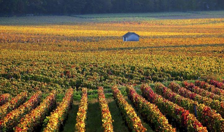 Burgundy vines