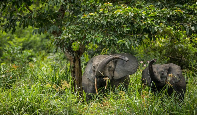 Honeymoons in the Congo