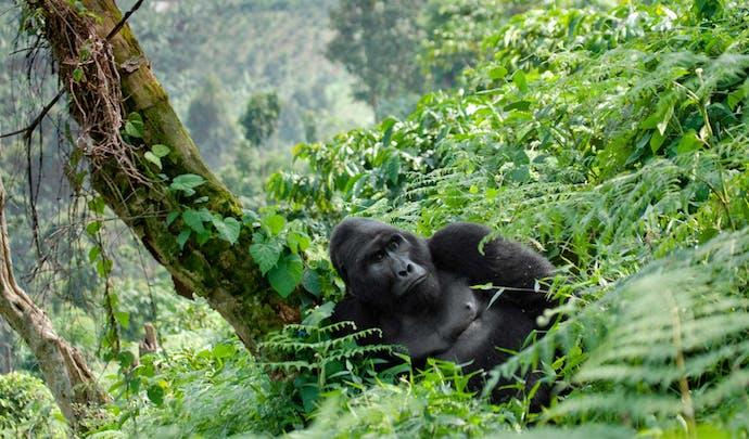 Track mountain gorillas in Rwanda