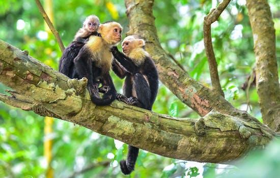 Manuel Antonio National Park, Capuchin Monkeys