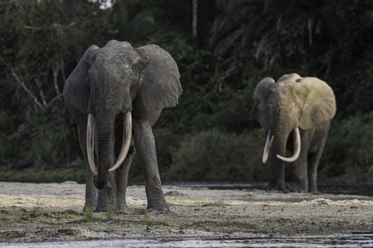 Elephants in the Congo