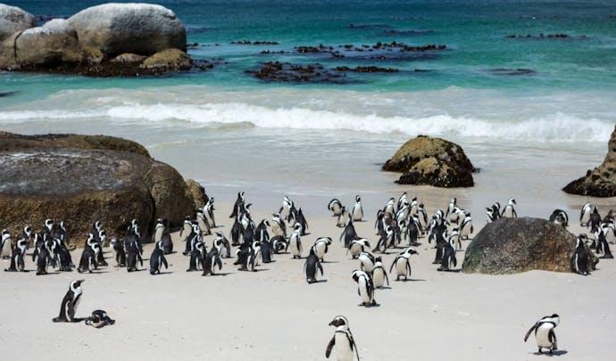 Penguin's at Boulder's Bay
