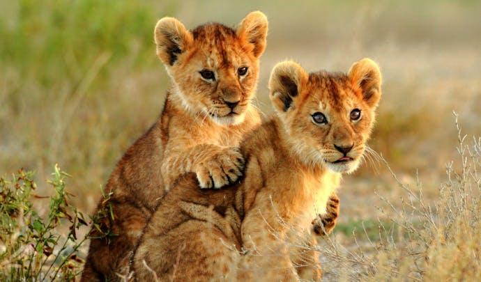 Lion cubs at Sabi Sands