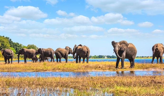Elephant herd at Chobe National Park