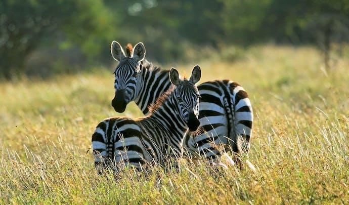 Search for zebra in Laikipia