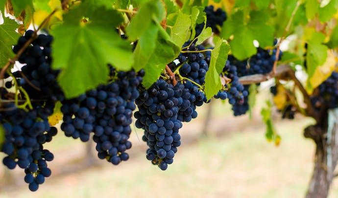 Vineyards in Yarra Valley