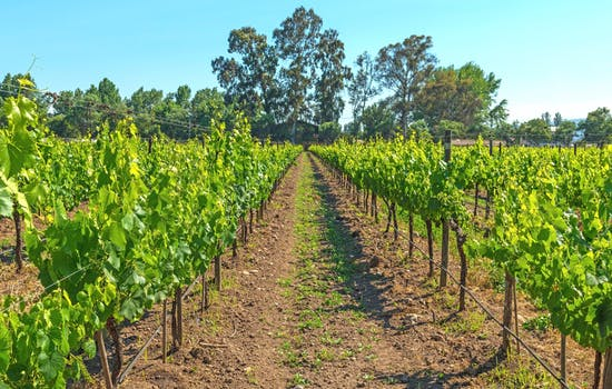 Vineyards in Maipo Valley