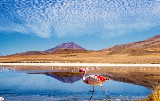 Flamingo in Chile