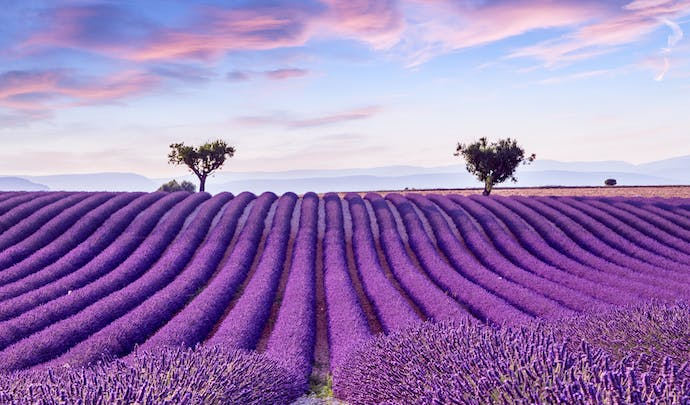 Lavender fields in Provence,France