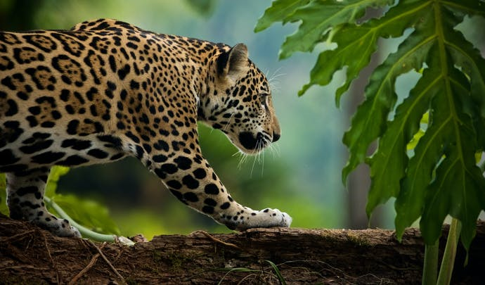 Jaguar, Colombia