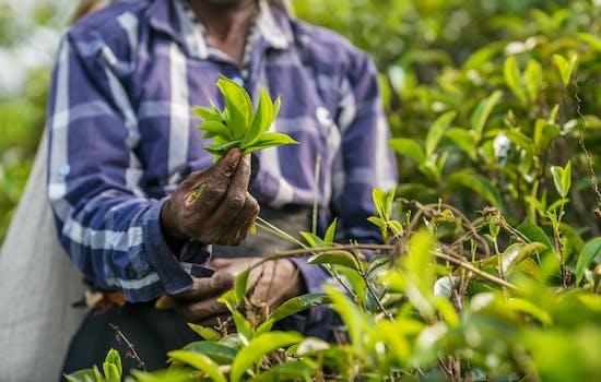 Tea fields in Sri Lanka