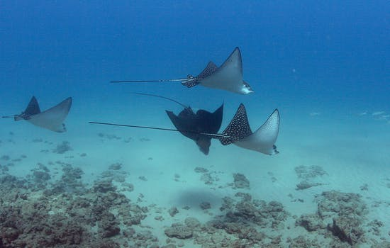 Swimming with manta rays in Hawaii