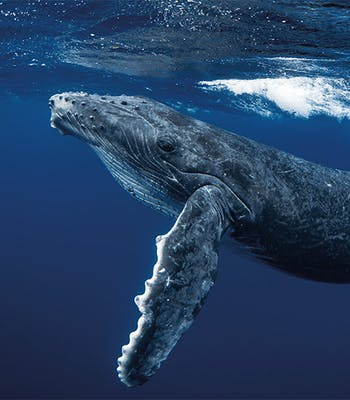 Swim with Whales in Iceland in June